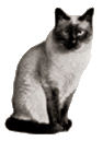 angleterre traditional siamese